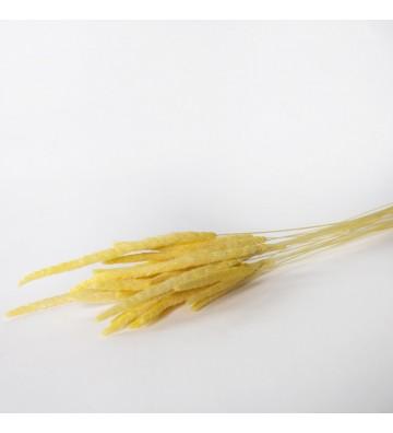 Tymotka/ Phleum żółta