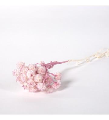 Helichrystum ciemny róż