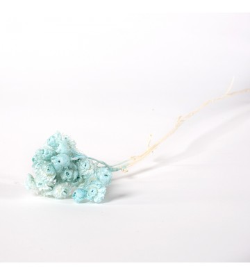Helichrystum niebieskie