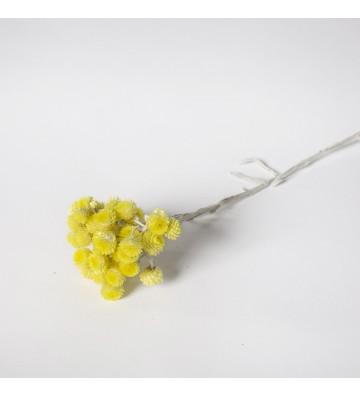 Helichrystum żółte