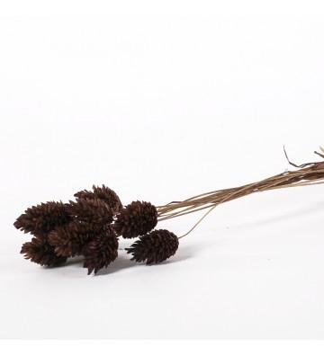 Phalaris brązowy