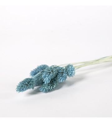 Phalaris błękitny