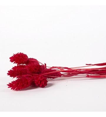 Phalaris czerwony