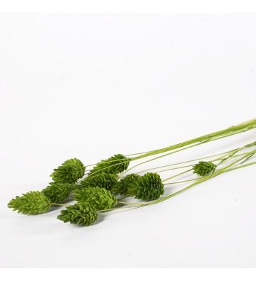 Phalaris zielony