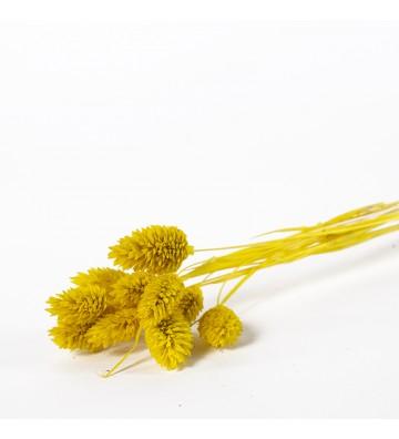 Phalaris żółty