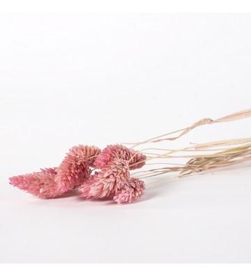 Phalaris różowy