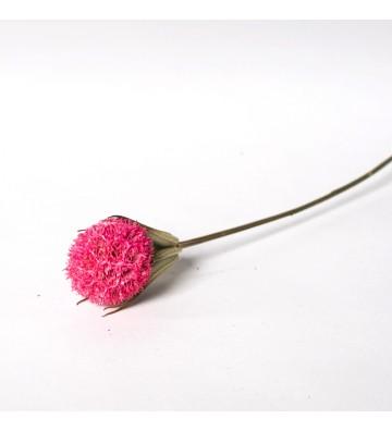 Czarnuszka z kraspedią różowa